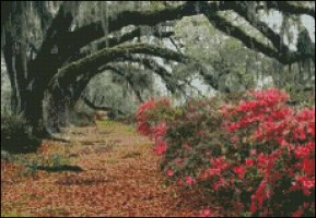 Azaleas and Oaks