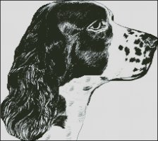 English Springer Spaniel Head