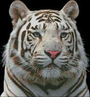 White Tiger - Large